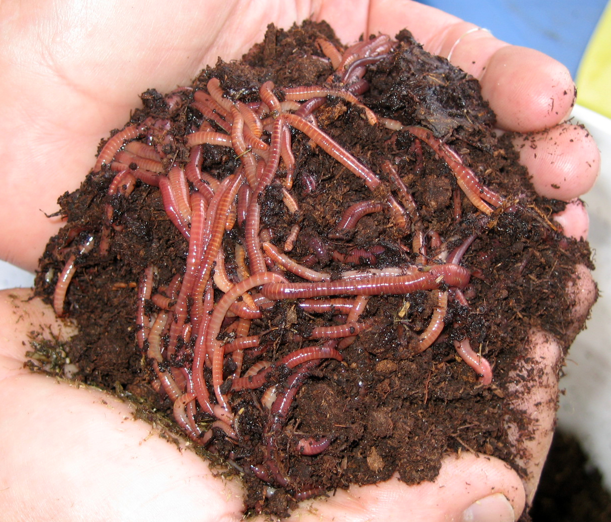 Displaying 17> Images For - Earthworms In Soil...